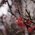 Photos: 武蔵小山 木瓜の花