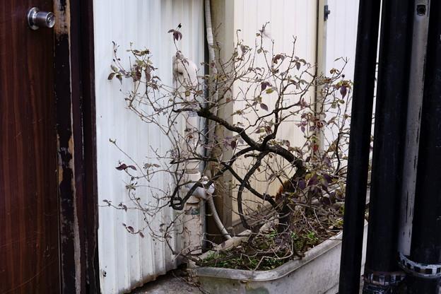 戸越 シックな盆栽
