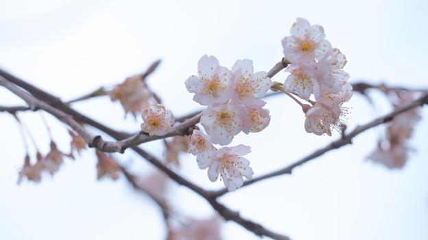 三原2 桜