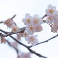 Photos: 三原2 桜