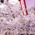 Photos: 満開の花の下で