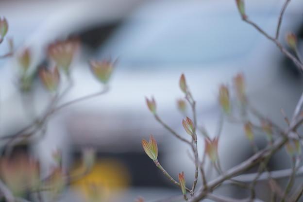 Photos: はなみずき