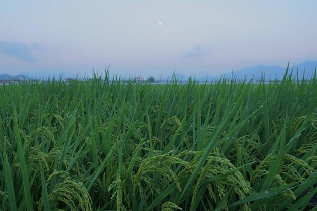Photos: 稲の穂