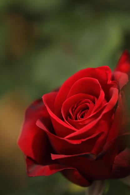 Photos: 薔薇が咲いた 薔薇が咲いた