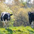 牛たちのいる風景