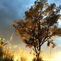 写真: 夕景の木