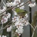 Photos: 庭に来たメジロ 2018.3.7