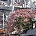 写真: 近所の桜