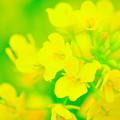 写真: アブラナの花