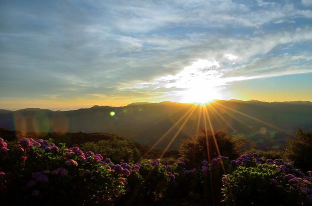 写真: 美の山公園の紫陽花と朝日