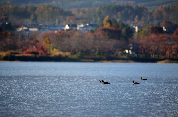 Photos: 秋の河口湖と鴨