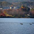秋の河口湖と鴨