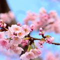 熱海の寒桜1