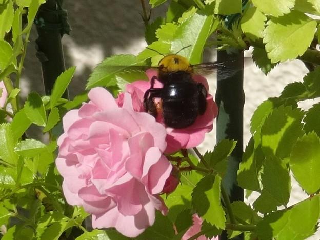ローゼンホルンとクマバチ