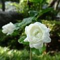 Photos: 茉莉花(8/19)
