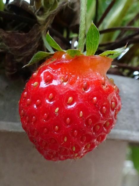 季節外れのイチゴ