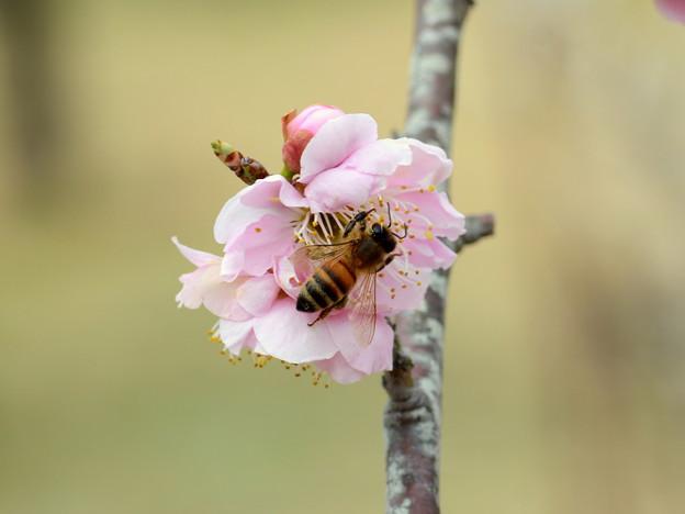 Honeybeehunter-6