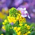 写真: 04菜の花にお邪魔