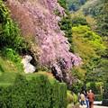 写真: 08流れ落ちる桜