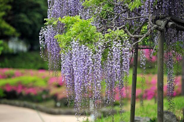 06季節に咲く藤