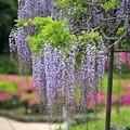 写真: 06季節に咲く藤