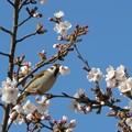 写真: [2]スズメと桜