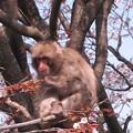 [2]ヤマザクラと猿(オス)