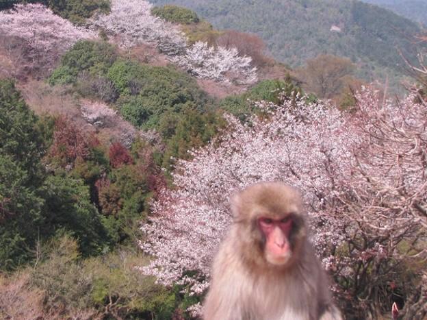 [6]ヤマザクラと猿(オス)