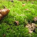 [A1]ナナフシの幼虫