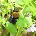 クマバチのオス