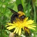 クマバチのメス