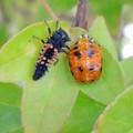 (A)ナミテントウの幼虫とサナギ