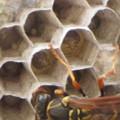 [2]フタモンアシナガバチの巣