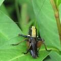 ヒメギスの幼虫(キリギリス科)