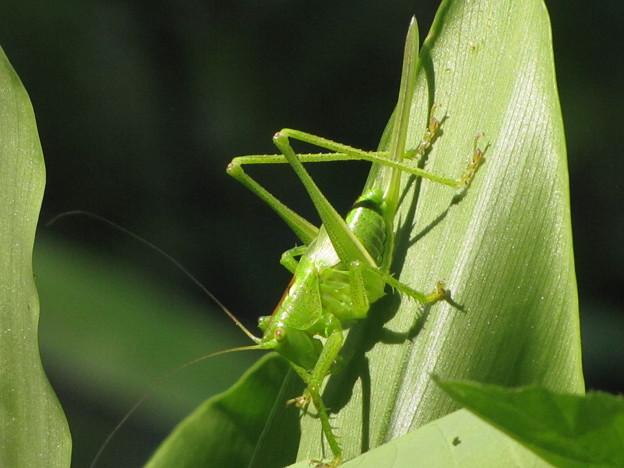 [2]ヤブキリの幼虫 メス