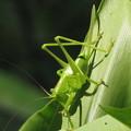 写真: [2]ヤブキリの幼虫 メス