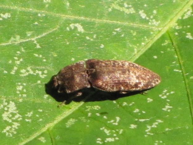 ムナビロサビキコリ