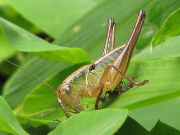 キリギリスの幼虫(キリギリス科)