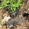 ユミアシゴミムシダマシ(ゴミムシダマシ科)