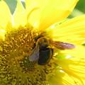 写真: クマバチ(ミツバチ科・クマバチ属)