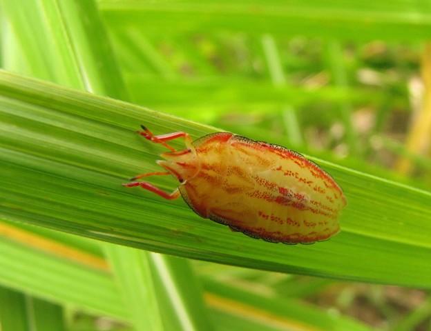 エビイロカメムシの幼虫