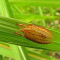 写真: エビイロカメムシの幼虫