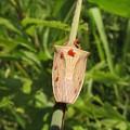 エビイロカメムシ