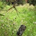 写真: ナガコガネグモのメス(コガネグモ科)