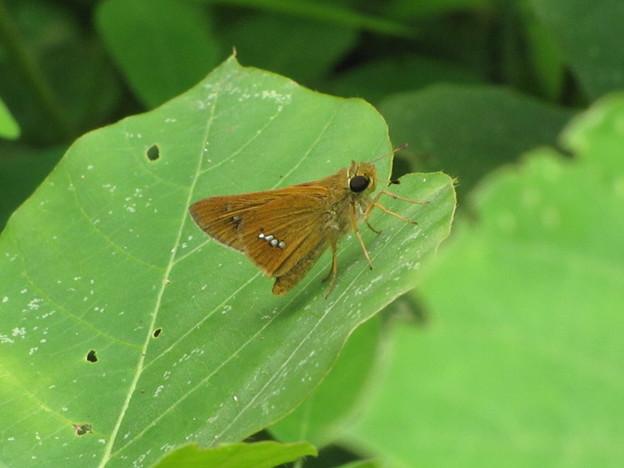 イチモジセセリ(セセリチョウ科)
