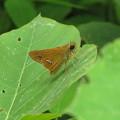 写真: イチモジセセリ(セセリチョウ科)