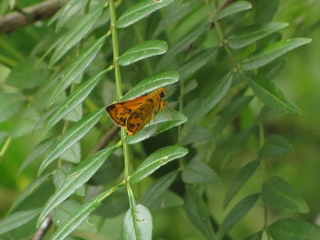キマダラセセリ(セセリチュウ科)