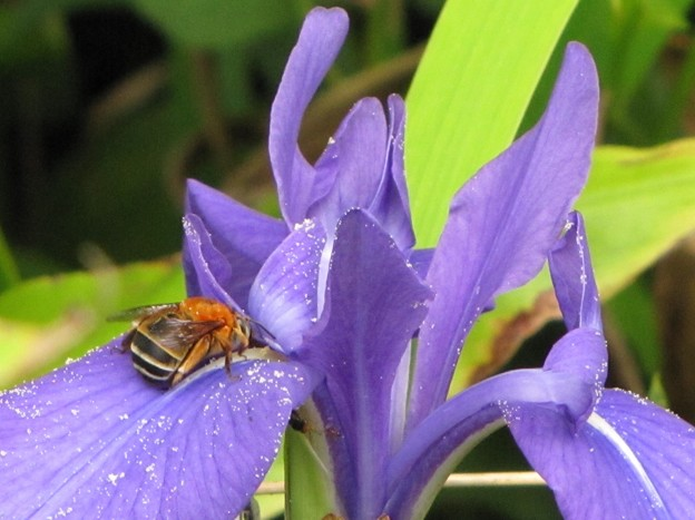 アシブトムカシハナバチ(ムカシハナバチ科)