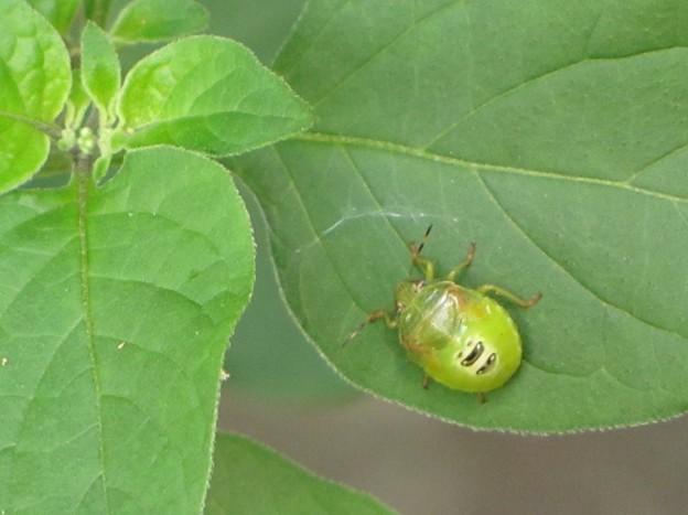 チャバネアオカメムシの終齢幼虫(カメムシ科)