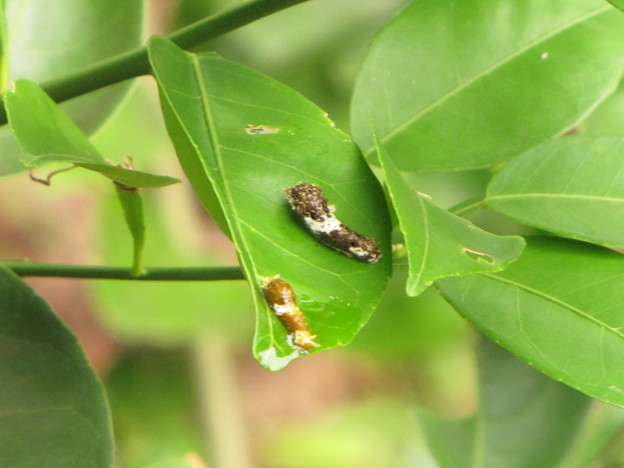 クロアゲハの1齢幼虫と3齢幼虫
